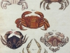 Antique Crabs Print